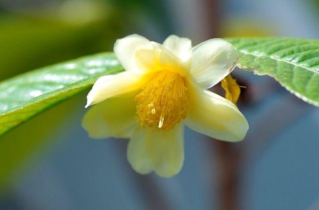 温室に咲く椿