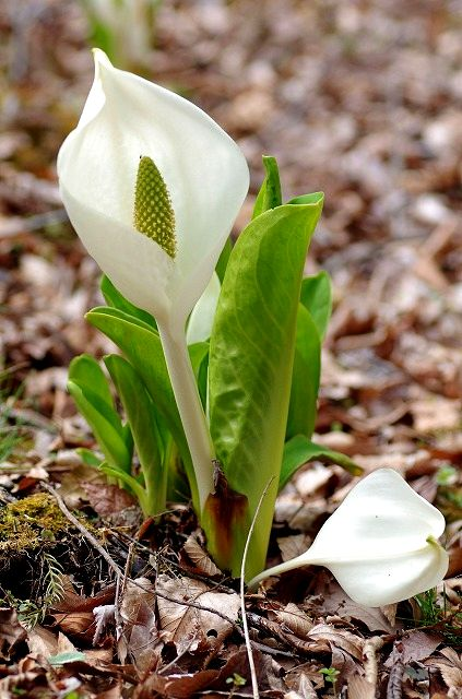 春を告げる草花たち