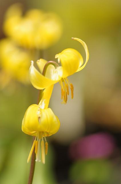 Yellow fairy黄色い妖精