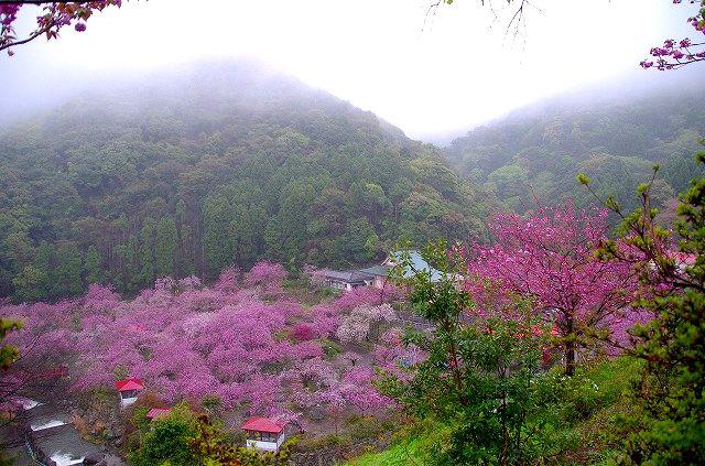 桜の雲海 不動尊一心寺 2