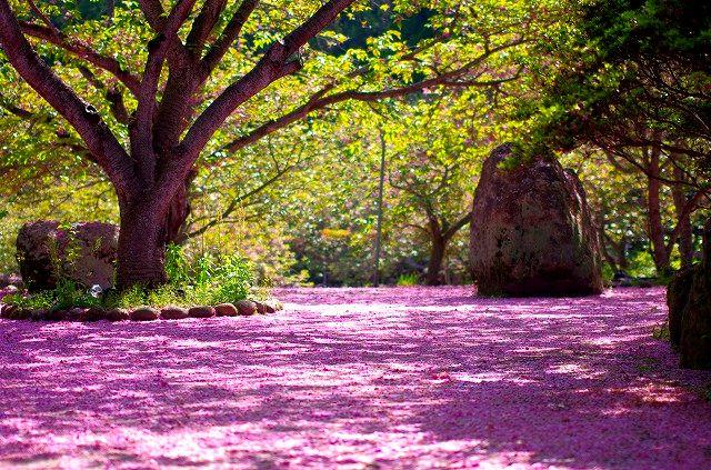 桜の絨毯 不動尊一心寺