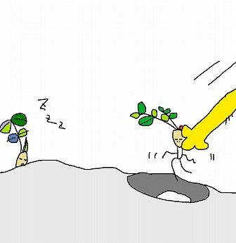落花生苗の移植-5
