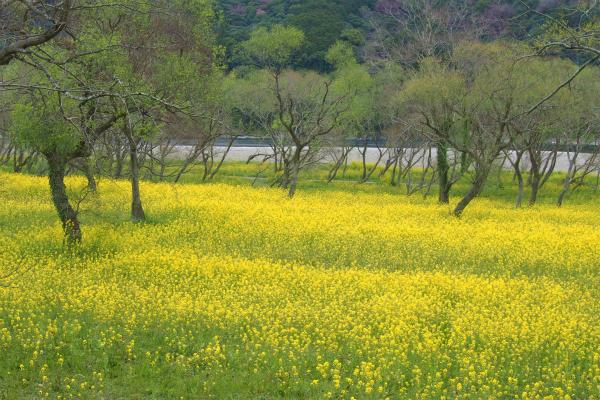入田ヤナギ林 - 1,000万本の菜の花