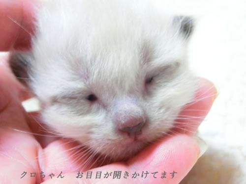 20150720angelio-kittens-kuro1.jpg