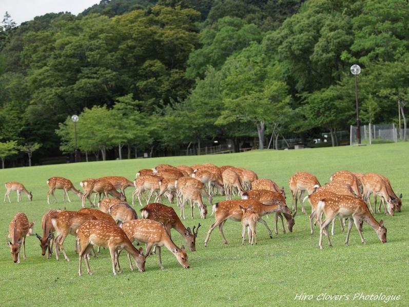 奈良公園にいる鹿1370頭は、人間が一頭ずつ正確にカウントしている?