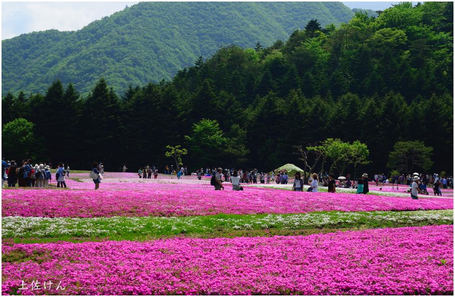 富士芝桜祭り4