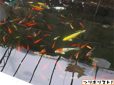金魚坂005