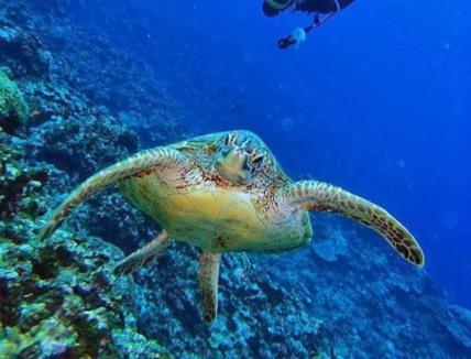 逢いたかったアオウミガメ君と泳げた!